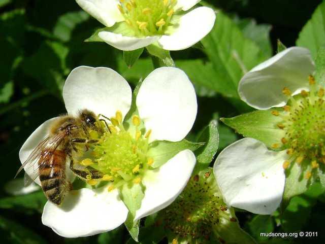 Honey bee on strawberry flower (July 6th, 2011).