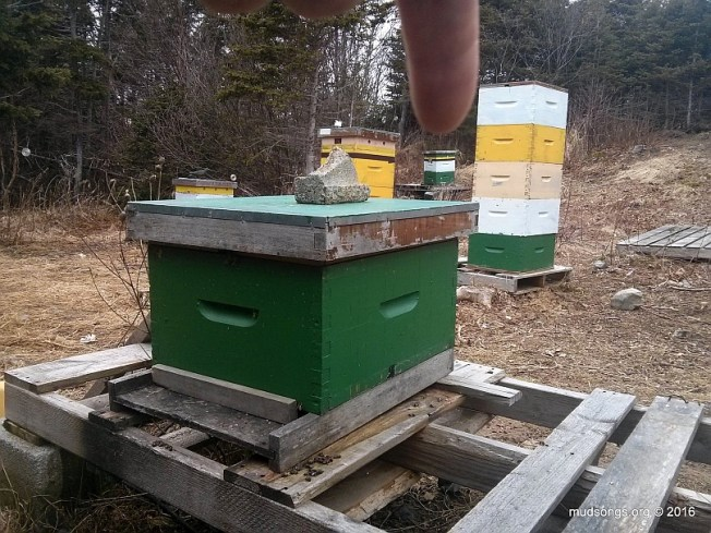 The hive in the background was originally located where the green hive body (with a caged queen) is now located. (April 2, 2016.)