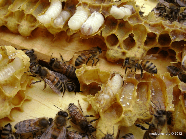 Destroyed drone comb between the brood boxes after inspection. (May 05, 2012.)