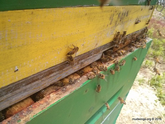 The bees were crowding the upper entrance, so I decided to open the hive above the honey super enough to relieve the traffic congestion. (June 06, 2016.)