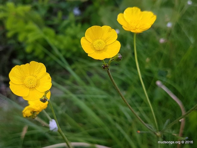 Buttercup in Bay Roberts, Newfoundland (June 28, 2016.)