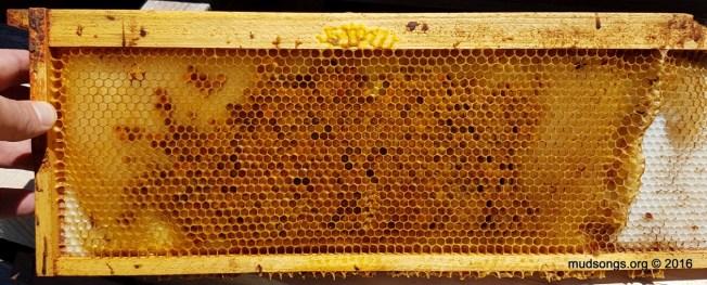One of several medium frames full of pollen in a honey super. (July 09, 2016.)