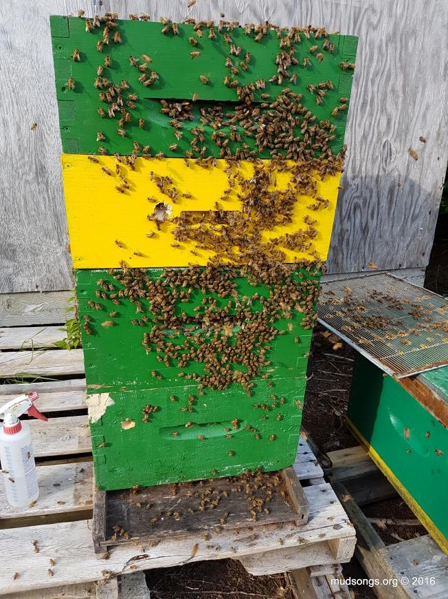 After adding a second honey super. (July 25, 2016.)