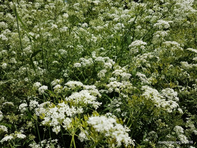 Queen Anne's Lace (July 04, 2016.)
