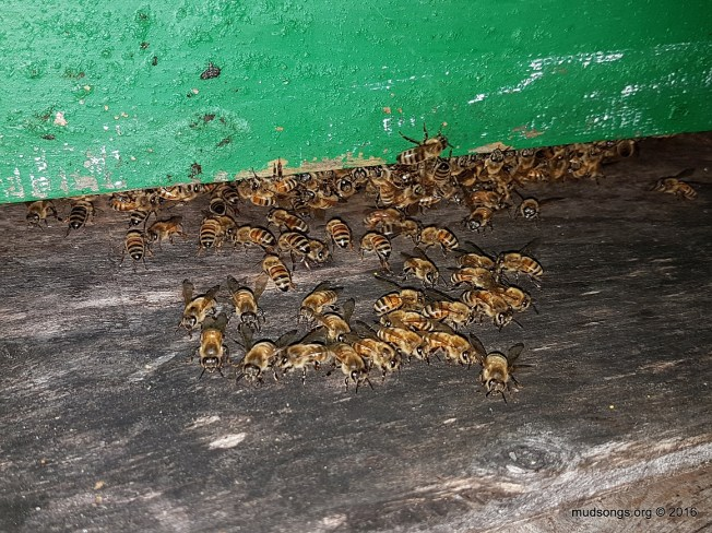 A night shot of some bees ventilating the bottom entrance. (August 08, 2016.)