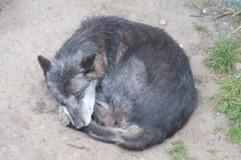 Wolf - Am Morgen