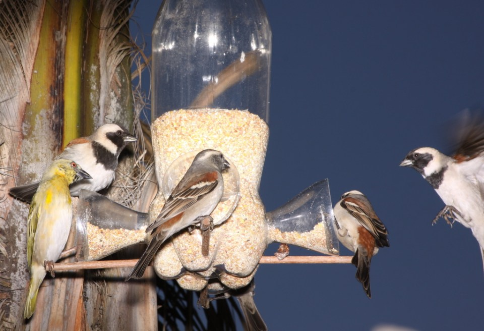Birds_at_a_bottle_bird_feeder_in_Johannesburg,_South_Africa
