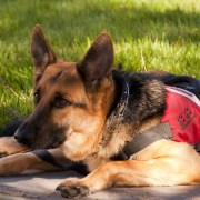 Service Dog Uniforms Changed to Discourage Smiling from Students