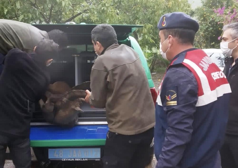 Yaralı yaban keçisi tedaviye alındı