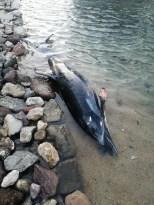 Bodrum'da sahile vuran ölü yunus balığı ekipelri harekete geçirdi