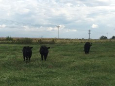 The total cattle owned by the Broseys: three black Angus and one mixed breed.
