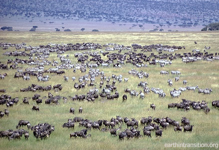 Tourism in Africa: Millions of animals in Serengeti National Park