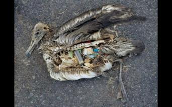 15_midway_islnad_albatross_1