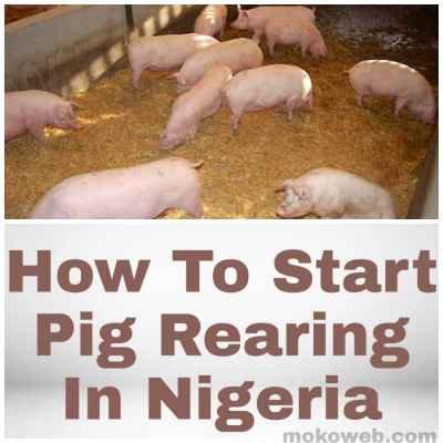 Pig Rearing in nigeria