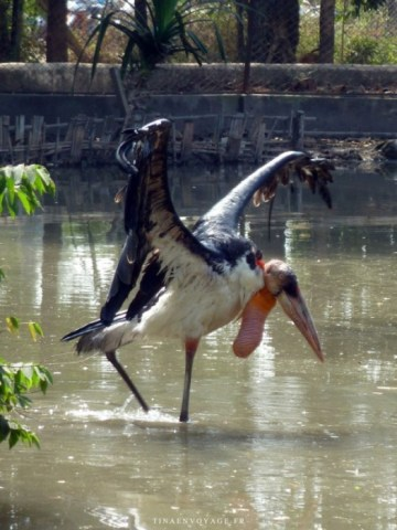 marabou mâle