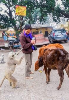 Rishikesh, les touristes sont sollicités par les singes et les vaches
