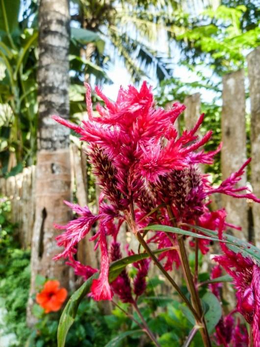 Les fleurs de Nong Khiaw au Laos