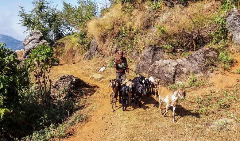 Un troupeau de chèvres et son berger sur les chemins de Ramkot