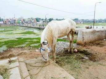 Cheval dans Madurai le long du fleuve assèché