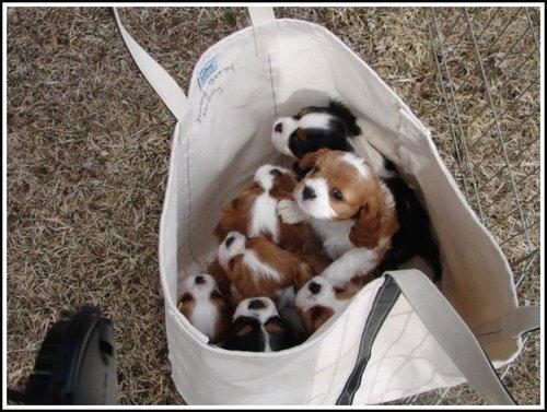bag of cavaliers