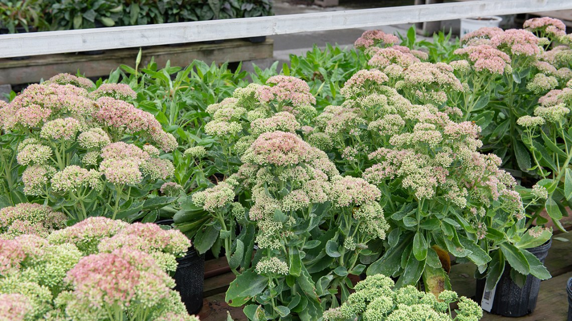 6 Late Blooming Perennials To Extend The Season Mulhall S