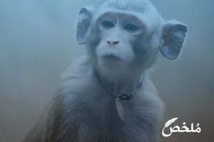 ما تفسير رؤية القرد الصغير في المنام