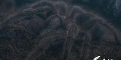 تفسير حلم عنكبوت اسود كبير