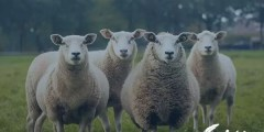 تفسير حلم خروف يعضني