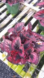 """""""Red Kiss"""" Rex Begonia"""