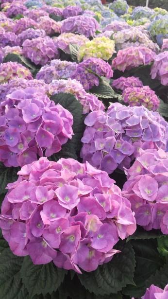 "8"" Purple Hydrangeas, Full (TIghter Available)"