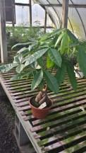"8"" Terracotta Money Tree"