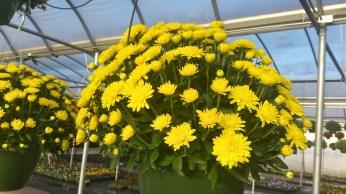 Yellow Mum Baskets