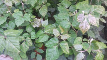 "6"" Grape Ivy"