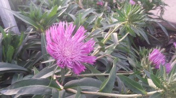 The Stoke's Asters are blooming!
