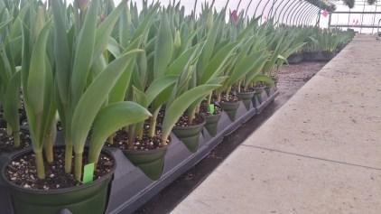 "6.5"" Tulips"