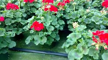 """6.5"""" Geranium"""