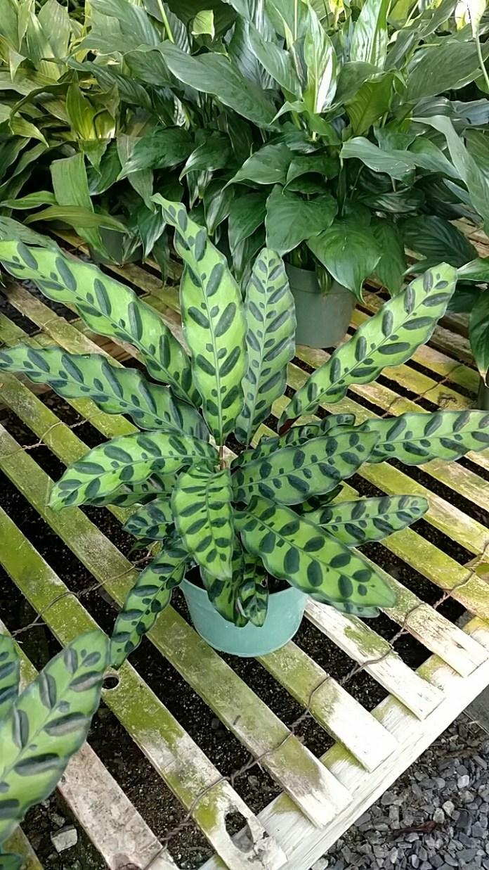 "6"" Calathea Lancifolia"