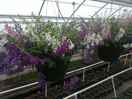 "10"" Angelonia Basket"