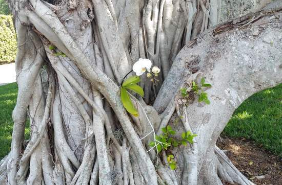 An orchid living peacefully in the cleft of a tree.