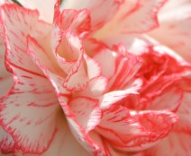 These gentle folds of salmon and cream reminded me of the raspberry ripple ice cream I loved when I was small....