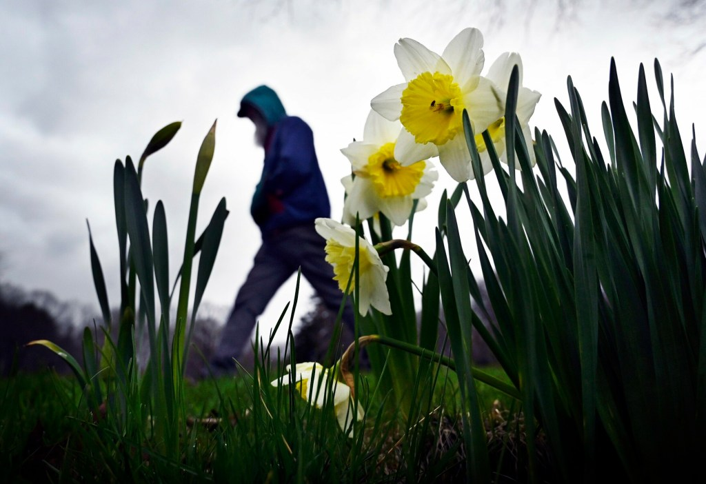 Daffodils and other bulbs lasted longer than usual this spring, because the weather stayed cool and wet.