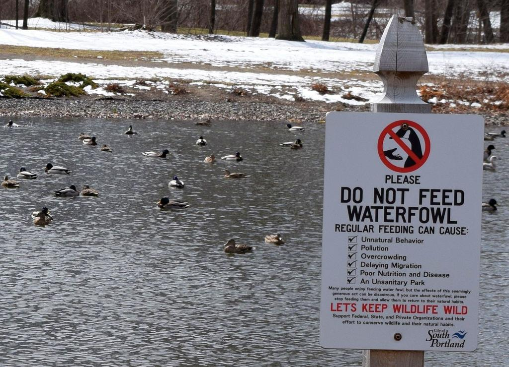 What is now just a posted request to avoid feeding waterfowl at Mill Creek Park in South Portland could become a citywide law.