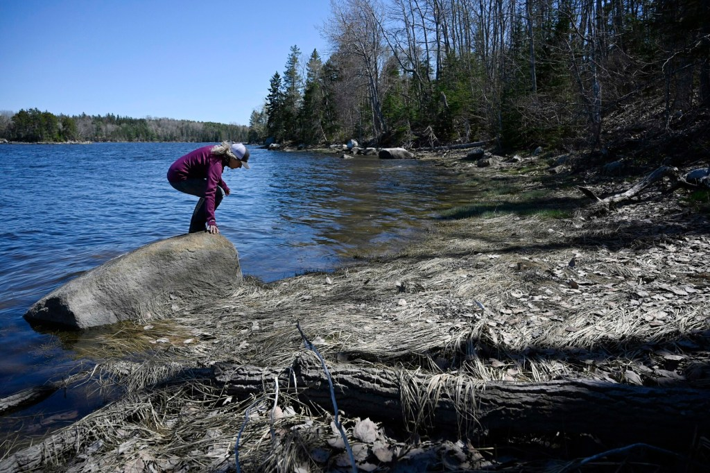 Sarah O'Malley of the Blue Hill Heritage Trust searches for horseshoe crabs along the Bagaduce River in Brooksville. It's one of four places in Maine where the ancient arthropods breed.
