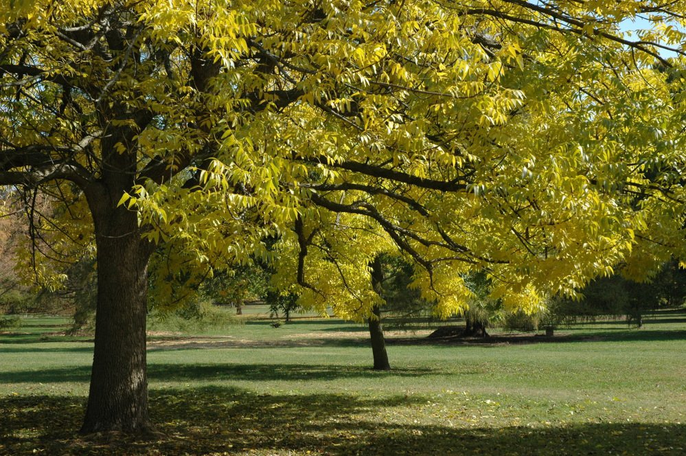 This undated photo provided by the Morton Arboretum in September 2012 shows blue ash trees. On Thursday, Sept. 14, 2017, the International Union for the Conservation of Nature said five prominent species of ash tree in the eastern U.S. have been driven to the brink of extinction from years of lethal attack by the ash borer beetle.