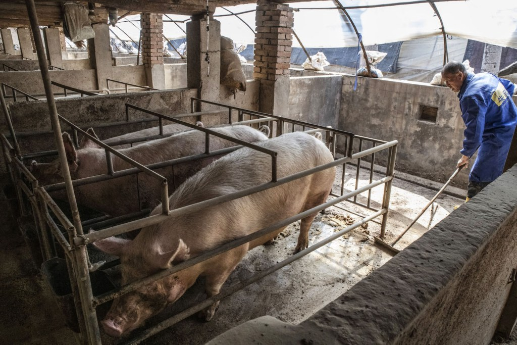 A worker sweeps out a pen at a pig farm in Langfang, Hebei province, China, on April 1.