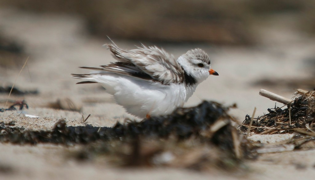 "An adult piping plover ""puffs up"" while protecting a nest in Old Orchard Beach in June. Maine Audubon has worked for decades to protect these endangered birds. This year, biologists are seeing record numbers of nesting birds."