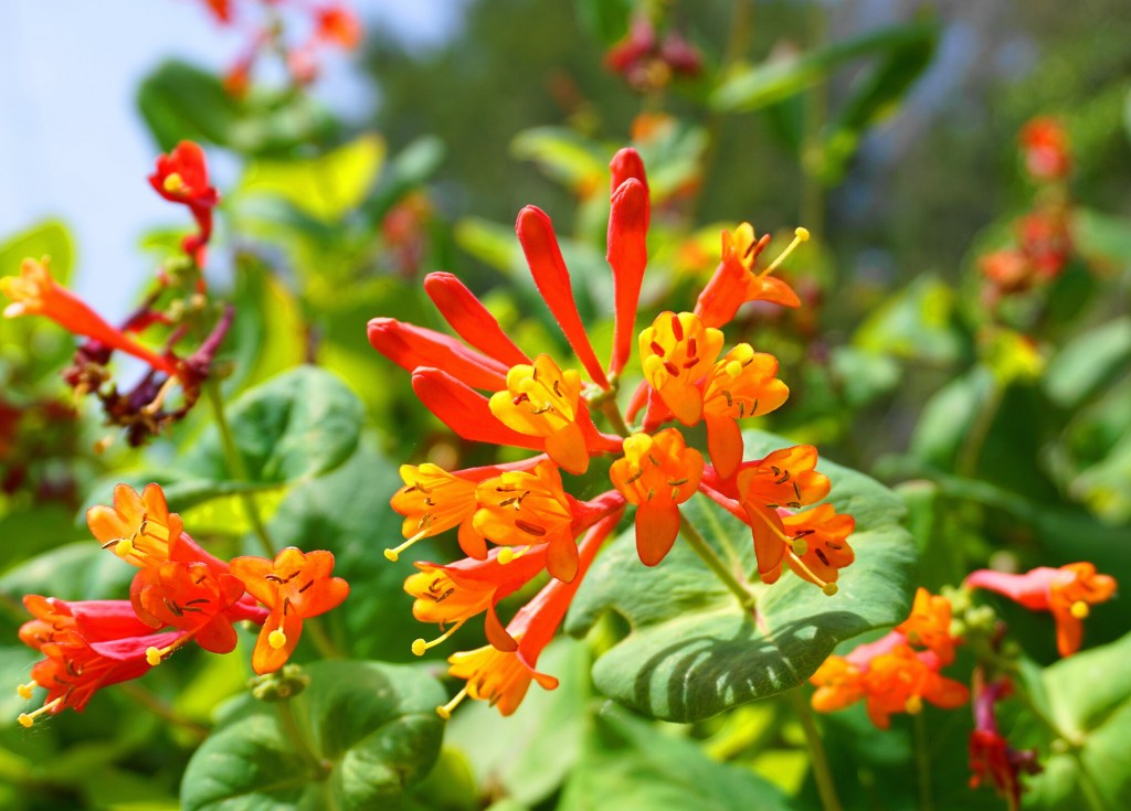 """A trumpet honeysuckle is both beautiful and good for pollinators. The Native Plant Trust lists it as one of eight plants it has collectively dubbed a """"Pollinators' Feast."""""""