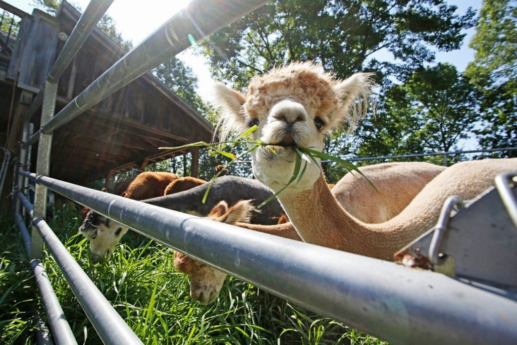 New alpaca gift shop in Whitefield among central Maine business briefs for Aug. 18 - Kennebec Journal & Morning Sentinel