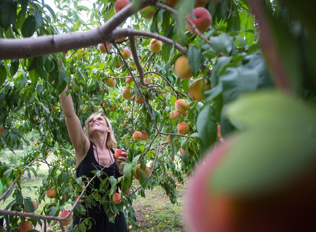 Peach season is here, and chefs are finding ways to use the fruit