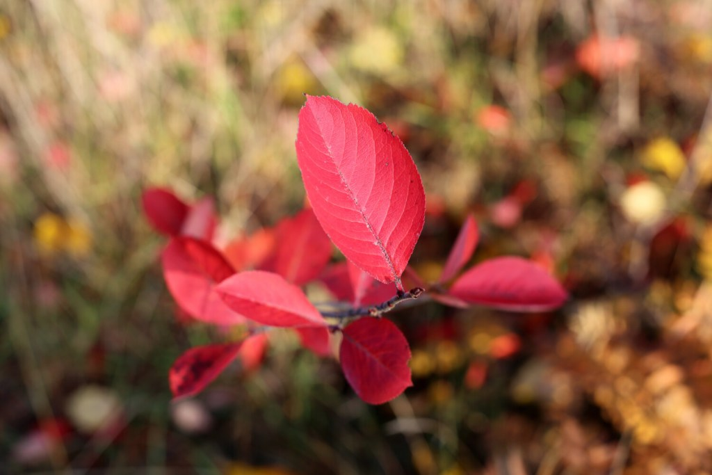 Chokeberry (or aronia) leaves turn brilliant red in the fall.